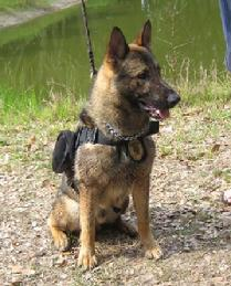 """Falk"" is a fine example of a quality Military Work Dog produced by Euro Pros K-9 Center, Inc. This extensive training experience sets Euro Pros apart in the training of Service Dogs for use by ""wounded warriors"" or by those in the general public requiring a Service Dog for PTSD or Emotional Support issues."