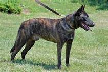 This is Garm von Asgard a Dutch Shepherd of Linda's that is out of two KNPV Dutch Shepherds.